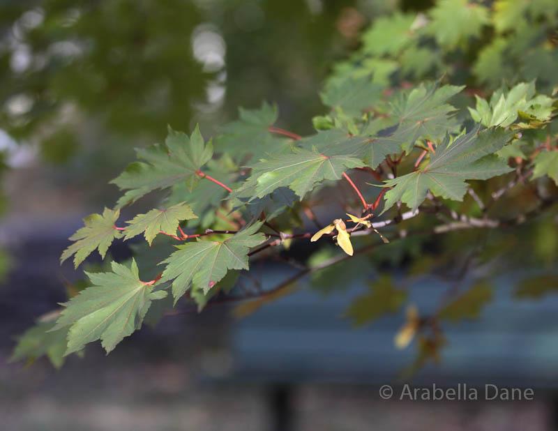 Acer pseudosieboldianum subsp. takesinense