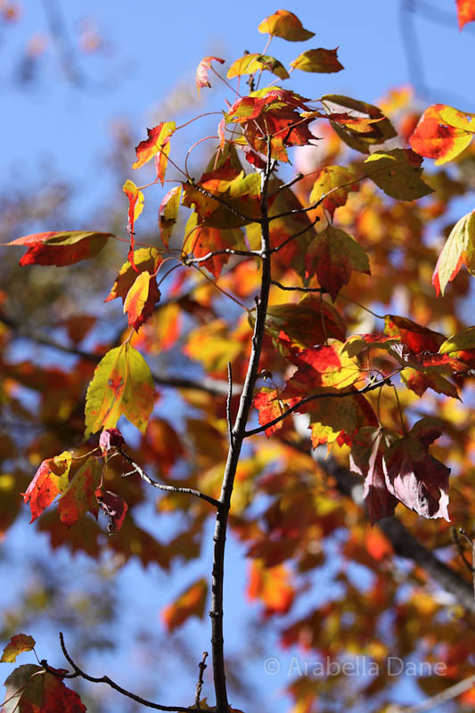Acer rubrum 'Columnare'