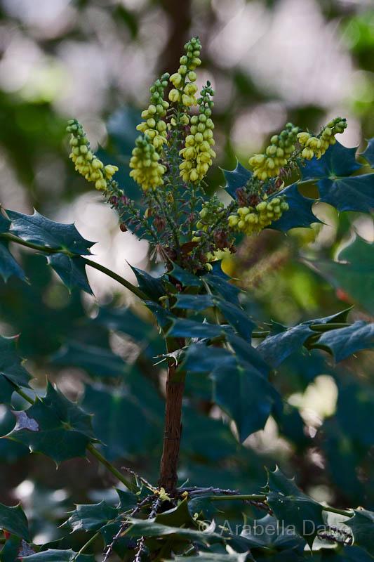Berberis aquifolium cv.