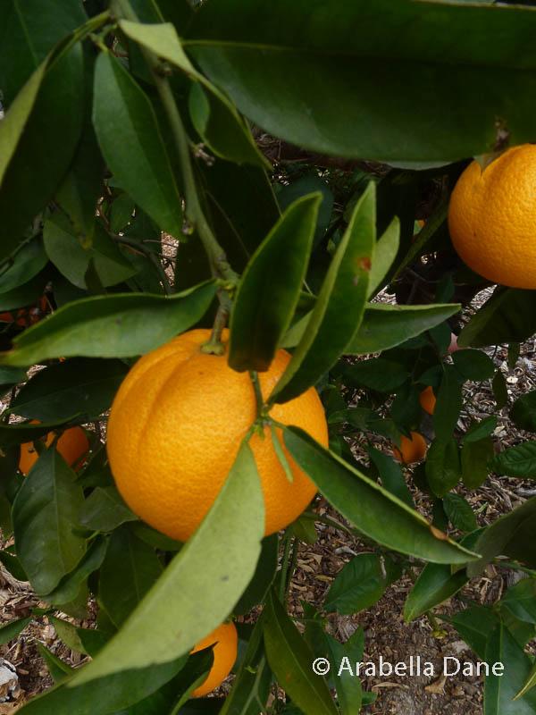 Citrus sinensis cv.