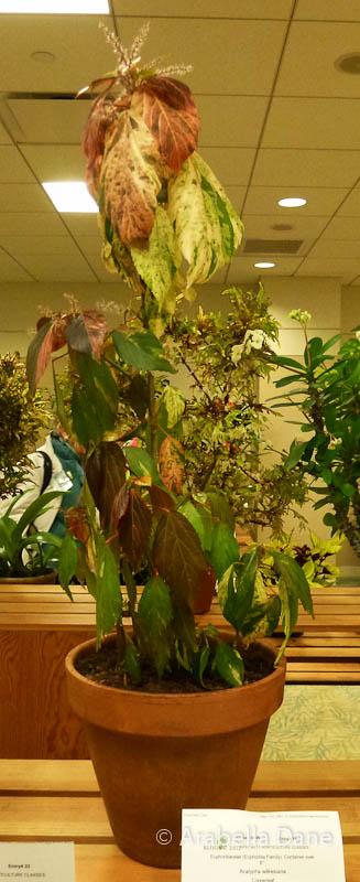 Acalypha wilkesiana cv.