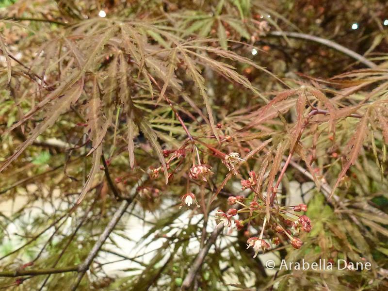 Acer palmatum (DISSECTUM GROUP)