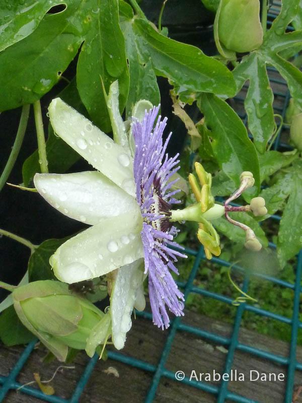 Passiflora caerulea cv.