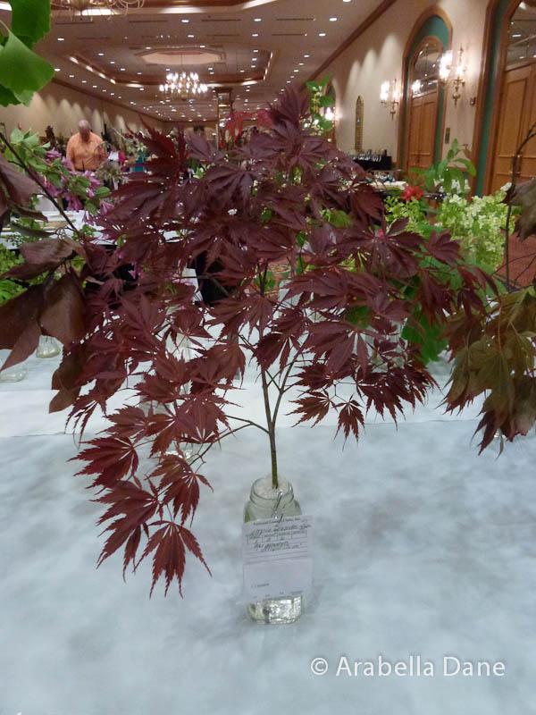 Acer palmatum 'Beni Maiko'