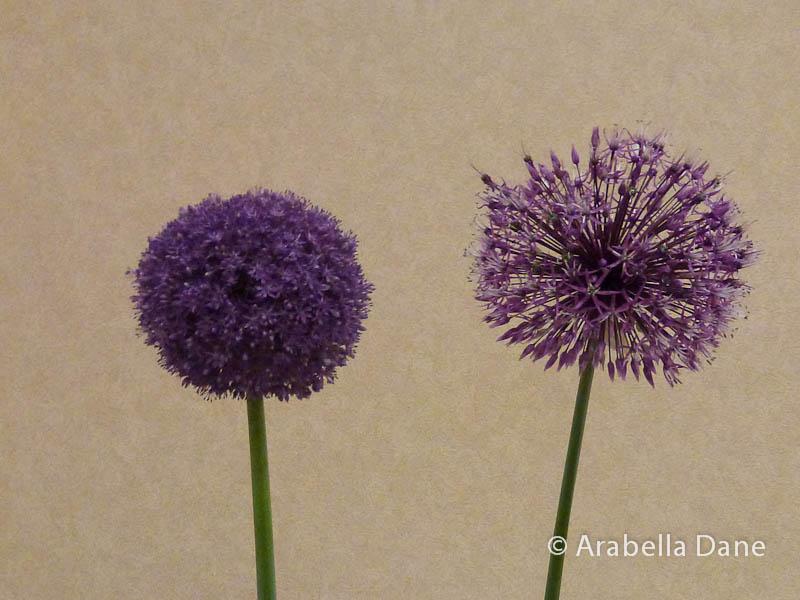 Allium cv.