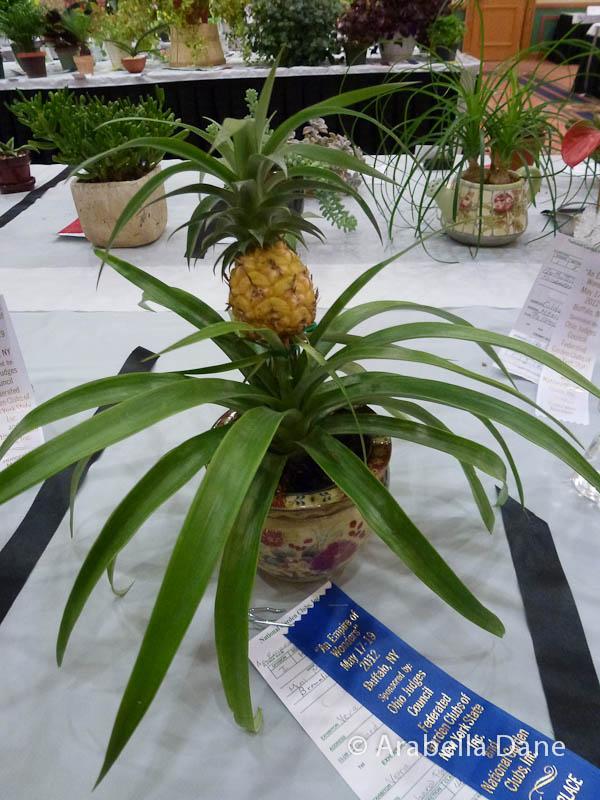 Ananas cv.