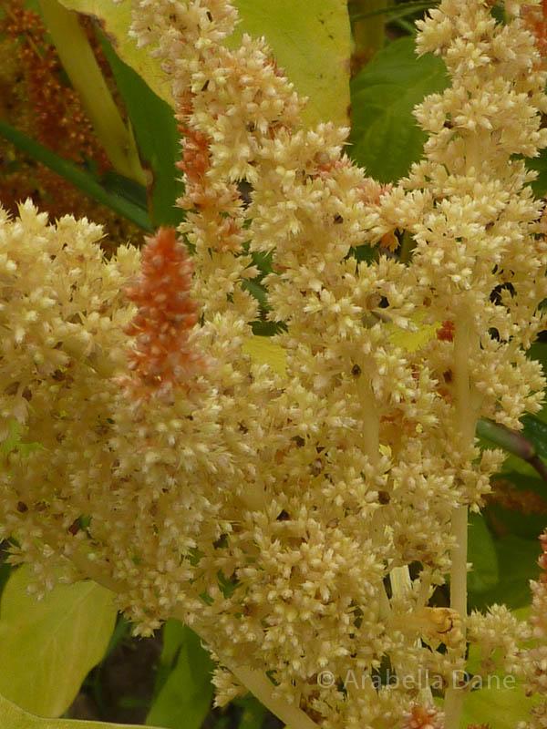 Amaranthus cruentus cv.
