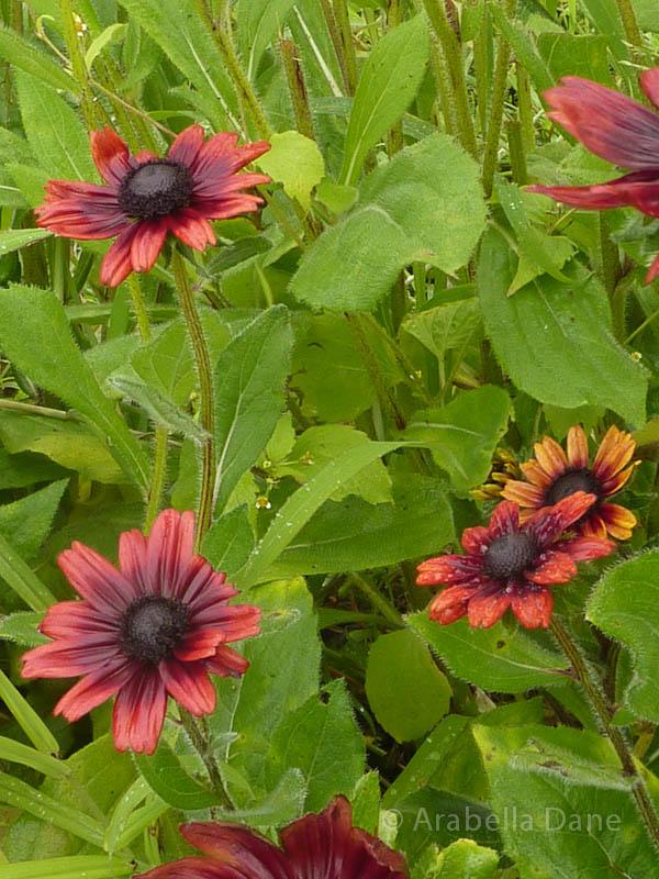 Rudbeckia cv.