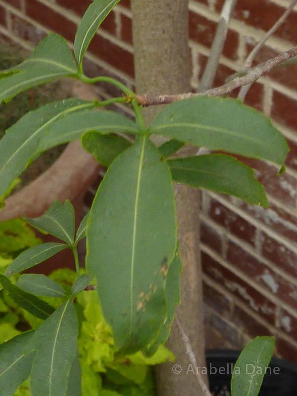 Adansonia fony var. rubrostipa