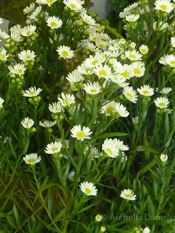 Symphyotrichum ericoides 'Monte Cassino'