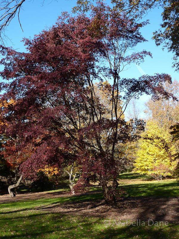 Acer macrophyllum 'Seattle Sentinel'