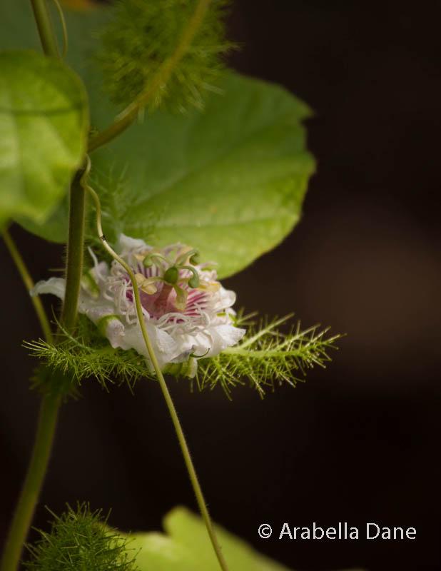 Passiflora foetida var. galapagensis