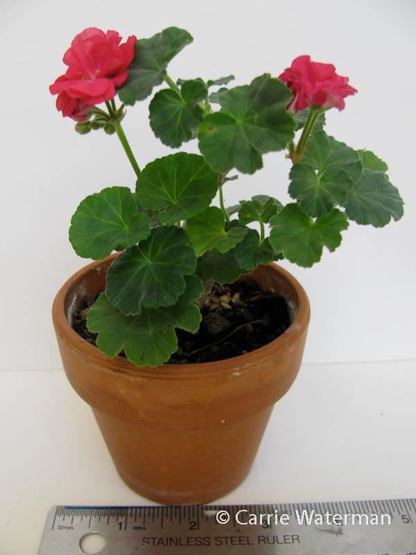 Pelargonium 'Bold Imp'