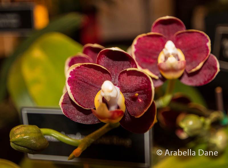 × Doritaenopsis 'Chiada Hebe Chocolate Drop'