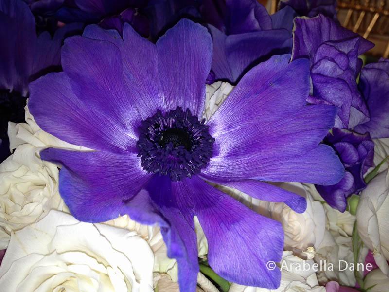 Anemone cv.