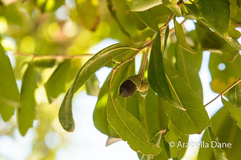 Quercus fusiformis