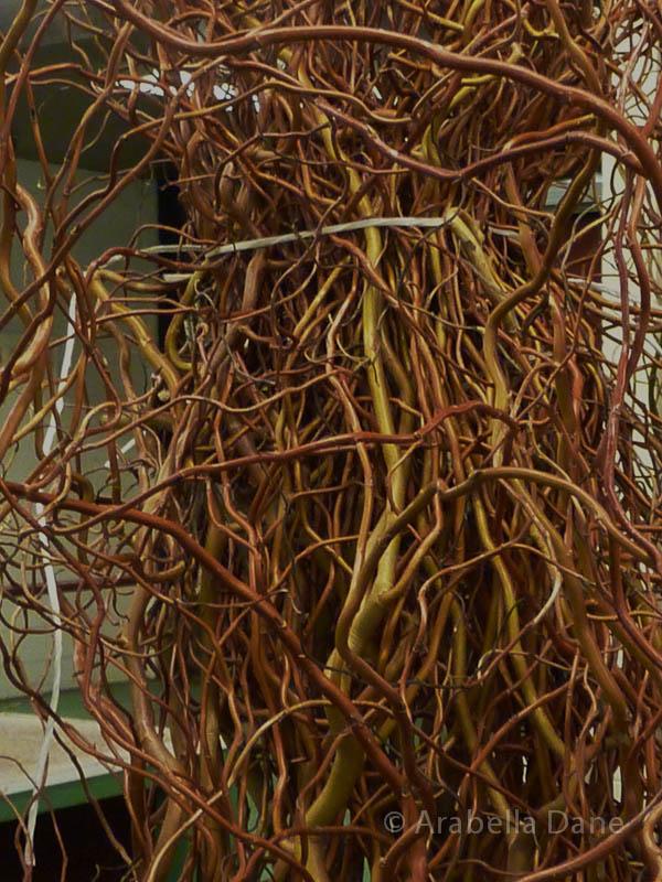 Salix matsudana cv. (= Salix babylonica cv.)