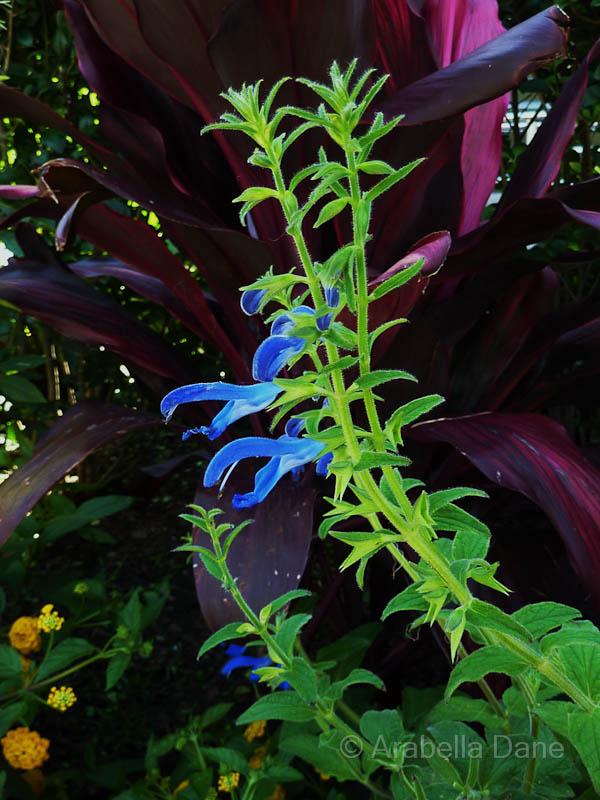 Salvia cv.