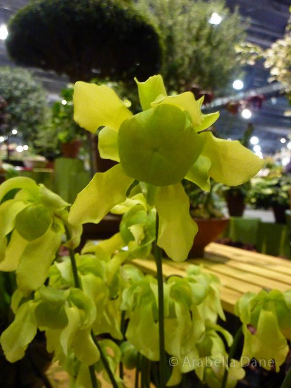 Sarracenia cv.