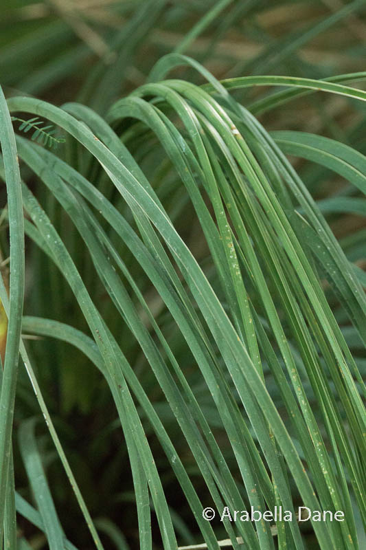 Yucca whipplei (=  Hesperoyucca whipplei)